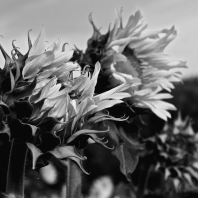 Sunflowers Ansousis